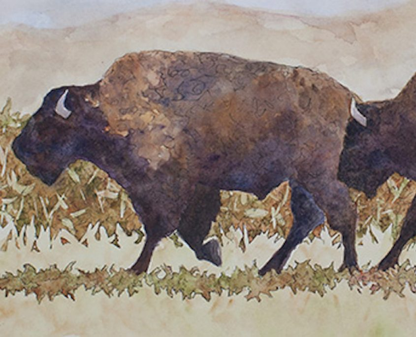 Bison on the move.
